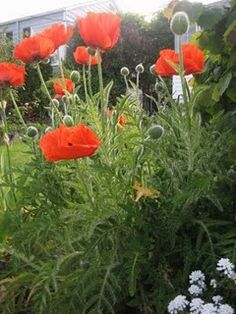 Poppies, just like my grandpa had. So pretty