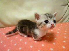 "Bringing a whole new meaning to the word ""cute."" A Munchkin kitten."