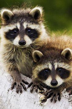 Racoon Pictures Of Cute Animals - HD Wallpapers Pretty - vaskebjørn Baby Raccoon, Cute Raccoon, Racoon, Raccoon Animal, Tier Wallpaper, Animal Wallpaper, Cute Baby Animals, Animals And Pets, Animal Babies