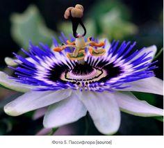 """Passiflore-Пассифлора """"Страсть"""" в """"цветок страсти"""" относится к страсти Иисуса в христианском богословии . В 15 - м и 16 - м веках, испанские христианские миссионеры приняли уникальные физические структуры этого растения, в частности , число ее различных частей цветка, как символы последних дней Иисуса и особенно его распятия"""