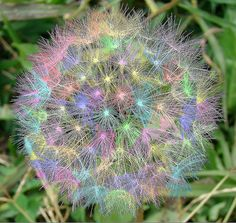 Rainbow Dandelion Puff -- it's a weed, but it's so pretty, it deserves a place on my flower board...  <3