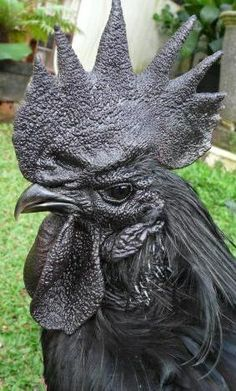 Ayam Cemani rooster - originates from Indonesia. It is a rarely kept breed. (Darth Rooster!)