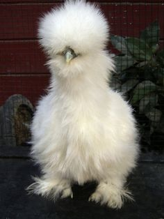this is a Silkie- a type of chicken. Apparently they make good pets! Great!