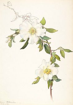Vintage French Soul ~ White Clematis Watercolour and brown ink by Margaret Neilson Armstrong ( Image and text courtesy The Metropolitan Museum of Art. Illustration Botanique, Illustration Blume, Vintage Botanical Prints, Botanical Drawings, Botanical Flowers, Botanical Art, Art Floral, Watercolor Flowers, Watercolor Art
