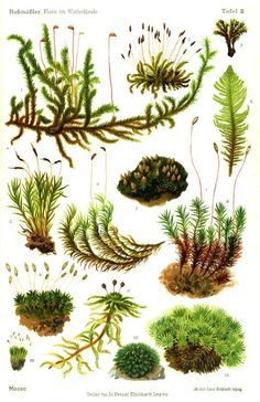 Moss Flora, Ferns Moss, Botanical Illustration, Moose Moss, Botanical Drawing, Moss Garden