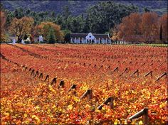 Autumn coloured vineyards in Paarl, South Africa