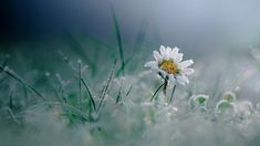 daisy by maxime dugenet White Flowers, Beautiful Flowers, Special Flowers, Big Photo, Flower Photos, Macro Photography, Photography Ideas, My Flower, Trees To Plant