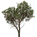 manzanita darkgreenleaves 150