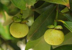 7 Panduan Lengkap Cara Budidaya Manggis Kualitas Buah Super - http://www.ruangtani.com/7-panduan-lengkap-cara-budidaya-manggis-kualitas-buah-super/
