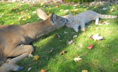 cat and roe deer in love
