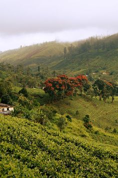 Tea Plantation, Sri Lanka #VisitSriLanka