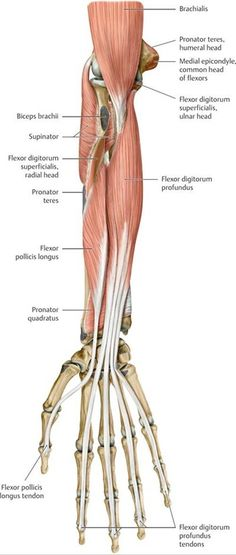 Functional Anatomy of the Upper Limb - Anatomy: An Essential Textbook, ed. - Functional Anatomy of the Upper Limb – Anatomy: An Essential Textbook, ed. Forearm Muscle Anatomy, Human Muscle Anatomy, Forearm Muscles, Human Anatomy, Subscapularis Muscle, Supraspinatus Muscle, Upper Limb Anatomy, Axillary Nerve, Physical Therapy
