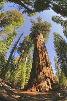 These Are the Oldest Trees on the Planet
