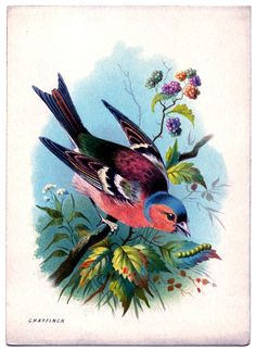 to decoupage *The Graphics Fairy LLC*: Instant Art Printable - Pretty Pink and Blue Bird Images Vintage, Vintage Birds, Vintage Clip, Retro Vintage, Art And Illustration, Vintage Bird Illustration, Victorian Illustration, Merian, Colorful Feathers