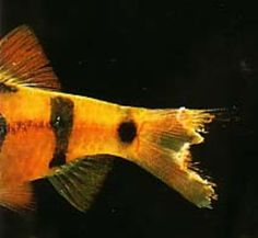 Facts About Fin Rot Betta Fish Tank Fish Fin Fish Pet