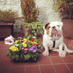 ❤ Bruno Bear ~ considering.  Should he help mom dig the holes to plant these or should he wait 'till they are planted and dig them up?  ❤