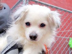 TO BE DESTROYED - 02/16/15 Manhattan Center -P  My name is DIPSY. My Animal ID # is A1027842. I am a male white and gray chihuahua lh mix. The shelter thinks I am about 13 YEARS old.  I came in the shelter as a OWNER SUR on 02/12/2015 from NY 10029, owner surrender reason stated was INAD FACIL.