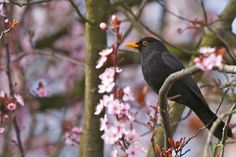 Eurasian Blackbird and cherry blossom
