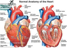 Illustration of the heart structures: left and right atria, left and right ventricles, ventricular papillary muscles, chordae tendineae, bicuspid valves, tricuspid valves, aortic semilunar valves, coronary arteries, superior and inferior vena cava, brachiocephalic vein, pulmonary trunk, pulmonary artery, and subclavian artery. © Nucleus Medical Art, Inc / Phototake
