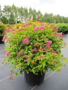 Magic carpet Spirea - 2-3'T & 3'W Full sun-partial shade. Neat, compact mounded shrub. Yellow-orange with vibrant red new leaves in the spring. In summer, clusters of small pink flowers contrast with chartreuse-yellow mature foliage that turns rich russet-red in fall.: