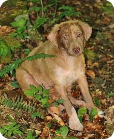 ADOPTED!!! Morehead, KY - Australian Shepherd/Labrador Retriever Mix. Meet BB King, a dog for adoption. http://www.adoptapet.com/pet/12968807-morehead-kentucky-australian-shepherd-mix