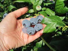 Blueberry picking ti