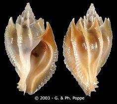 Paziella (Flexopteron) poppei    Houart, R., 1993 Shell size 18 - 52 mm Philippines
