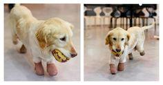 Chi Chi, a fiatal keverék kegyetlen állatkínzás áldozatává vált Dél-Koreában. Mind a négy lábát amputálni kellett, ma már azonban boldogan él családjával Amerikában. Szívszorító történet!  #kutya #dog #goldenretriever #kutyabaráthelyek