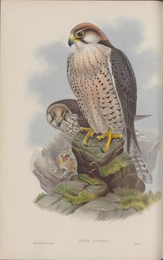 Falco lanarius | For background and links, please see: bibli…