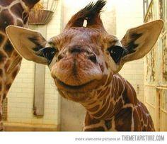 Wittttle gwwwwaffffeee Smiling Animals, Happy Animals, Cute Baby Animals, Funny Animals, Awkward Animals, Wild Animals, Laughing Animals, Smiling Faces, Happy Faces