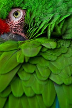 """earth-song: """" Emerald - Military Macaw by Justin Schmauser """" Pretty Birds, Love Birds, Beautiful Birds, Animals Beautiful, Exotic Birds, Colorful Birds, World Of Color, Color Of Life, Earth Song"""