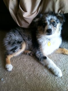 Mini-Australian Shepherd, Blue