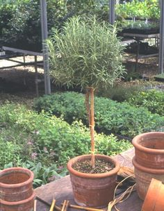 It's easy to buy ready-trained topiary, but it's fun and satisfying to make your own. Many types of plants are well-suited to shaping, including the herb rosemary used here. It's also possible to train your own topiaries from hollies, ivies, and boxwood, or from flowering plants, such as lantana, fuchsia, and hydrangeas.