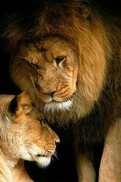 D08122015   Pareja de lions