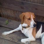 American Foxhound free