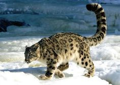 The snow leopard (Panthera uncia or Uncia uncia) is a moderately large cat native to the mountain ranges of Central Asia and is on the Endangered list.