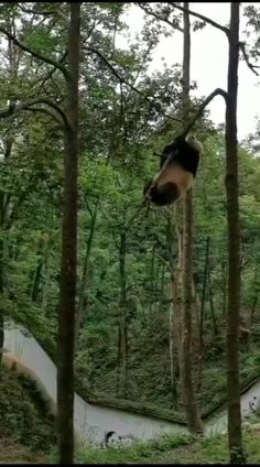 cute panda Funny Animal Videos, Cute Funny Animals, Cute Baby Animals, Animals And Pets, Cute Dogs, Funny Panda Pictures, Panda Funny, Cute Animal Pictures, Cute Panda Wallpaper