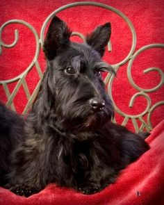 Scottish Terrier #Dogs #Puppy