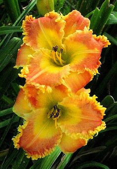Organge and yellow daylily 'Raggedy Man' is unique but will still fit right into in a perennial border