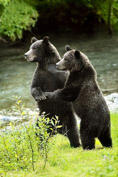 Write about a grizzly bear wedding. Who is invited? What songs are played for dancing? What are the bears' wedding traditions? | #creative #writing #prompt