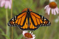 Monarch butterfly.  On it's annual migration to Mexico right now.