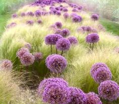 Alliums and feather grass (I think Mexican Feather Grass).