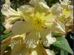 Rhododendron 'Holy Moses'