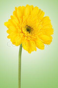 yellow-gerbera-daisy YR