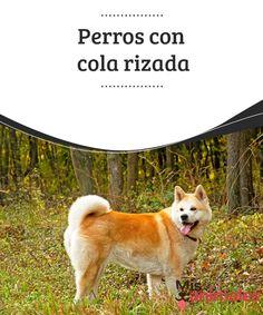 """#Perros con cola #rizada  Los #canes emplean #diversas partes del cuerpo para comunicarse, pero no hay nada como un rabo moviéndose de aquí para allá expresando alegría. Algunos son largos, otros cortos, y los hay también con """"formas llamativas"""". Por eso en este artículo te contaremos cuáles son las razas de perros con #cola rizada."""