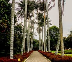 Palmeras - jardín Botanico