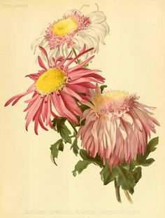 200246 Chrysanthemum hort.  / The garden. An illustrated weekly journal of horticulture in all its branches [ed. William Robinson], vol. 31:  (1887) [H.G. Moon]