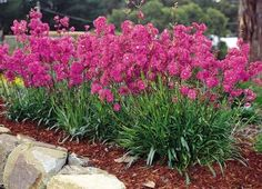 Lychnis Passion Frost tolerant