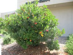 HEDGE OPTION: Compact Strawberry Bush. Grows 5-10' high. Low water.