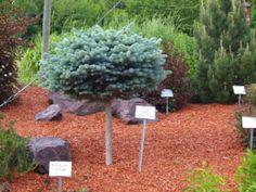 Dwarf Globe Blue Spruce Trees